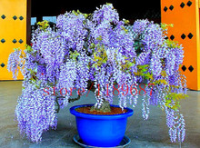 10 pcs wisteria seeds Blue Japanese Wisteria Fresh Viable tree  Seeds Amazing Climber