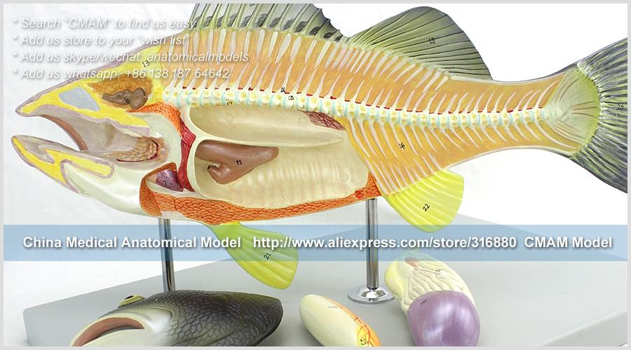 12011 CMAM A30 Aquaculture Science Bass Anatomical Model, Medical ...