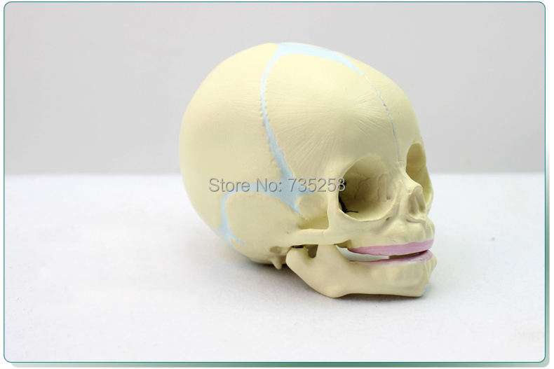 Fetal Cranial Model,Baby Skull Model,30 Weeks of Fetal Skull Simulation Model fetal model of female gynecology with pelvic attachment to full term fetal pregnancy development of nine months fetal uterine re