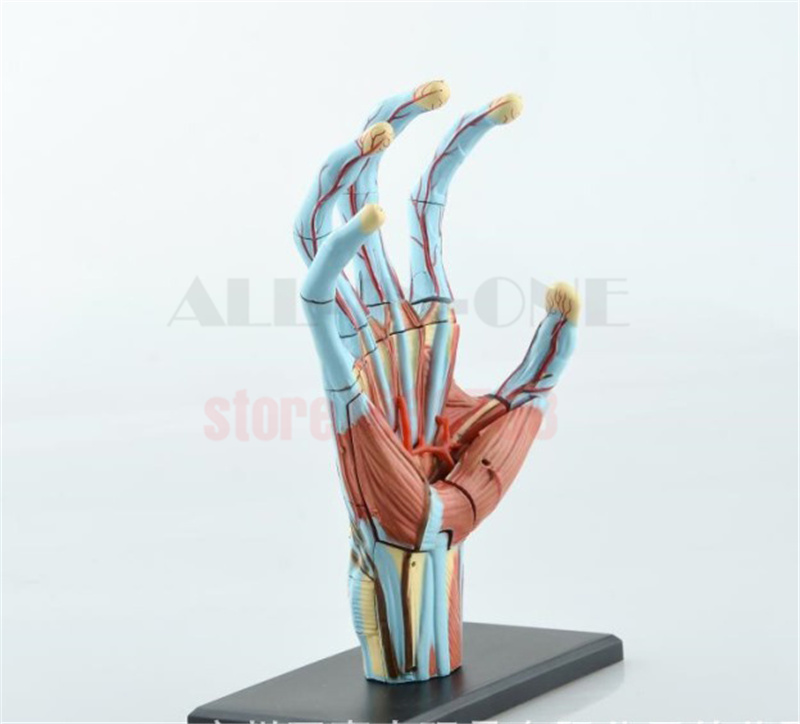4D Master Menschlichen schädel hand anatomie skeleton anatomischen ...