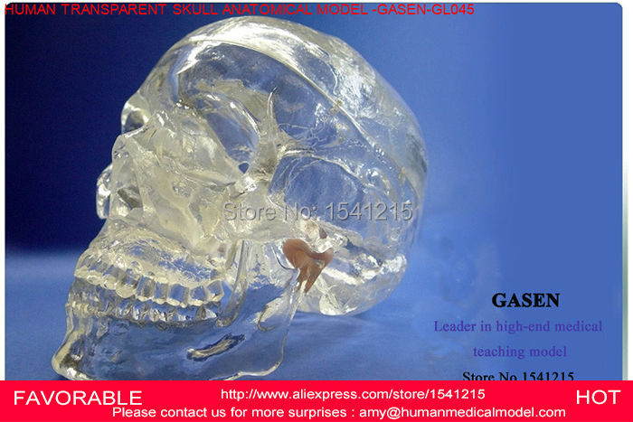 ANATOMICAL ANATOMY HEAD SKULL SKELETON,HUMAN SKULL, ANATOMICAL SKULL MODEL,,TRANSPARENT HUMAN SKULL ANATOMY MODEL-GASEN-GL045 skin model dermatology doctor patient communication model beauty microscopic skin anatomical human model
