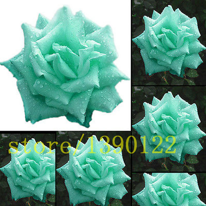 Buy 100 rare rose seeds blue color mint for Buy black and blue roses