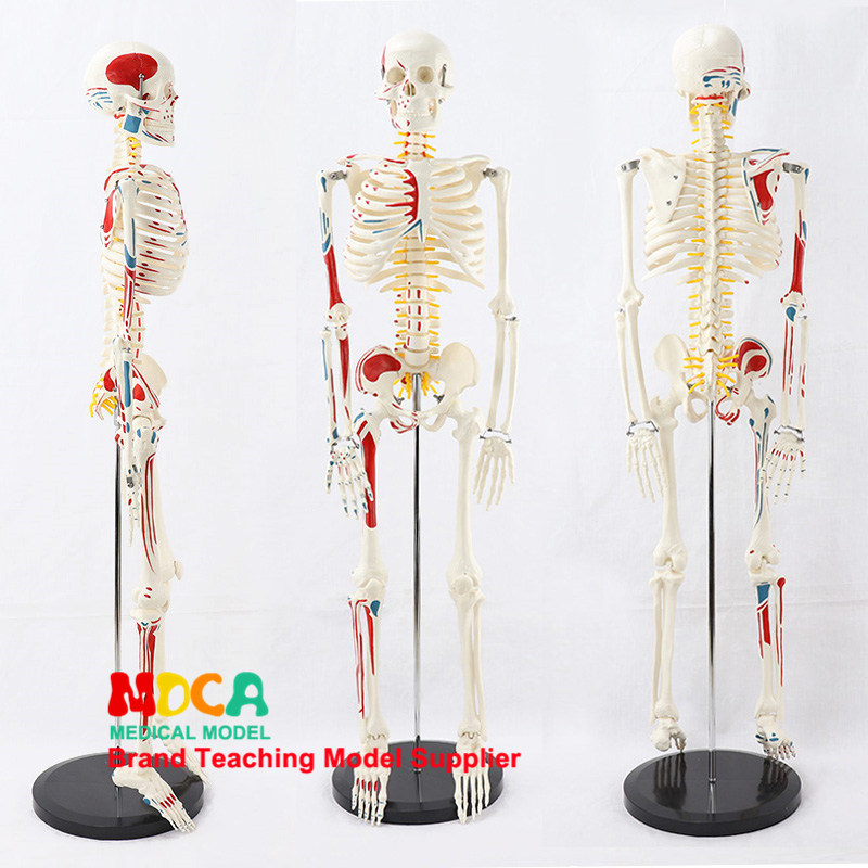 2.5 	Medical 85CM Pillar Type Human.skeleton Model Neuromuscular Start And Stop Skeleton Yoga Teaching Spinal Column MGG205