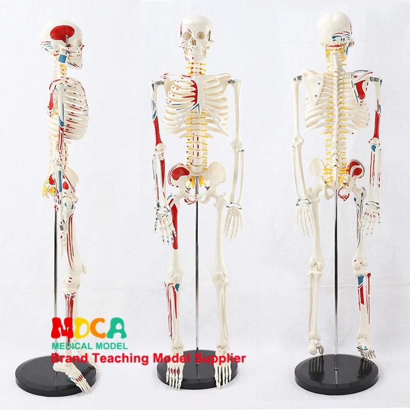 2.5 Medical 85CM Pillar Type Human.skeleton Model Neuromuscular Start And Stop Skeleton Yoga Teaching Spinal Column MGG205