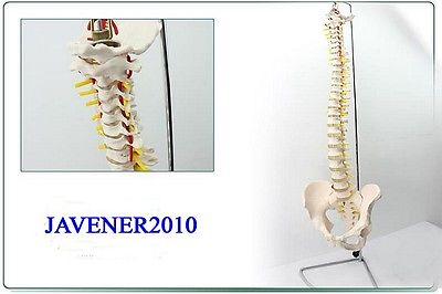 1:1 Life Size Human Anatomical Anatomy European Spine Medical Model +Stand