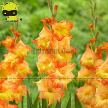 Bright Orange Buds Gladiolus Bulbs Sword Lily Seeds, 20 Seeds/Pack, Two-tone Color Long-Lasting Cut Flowers