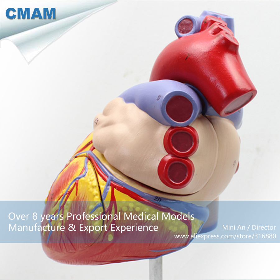 12480 CMAM HEART04 Numbered 2x Life Size Human Heart Anatomy Model w ...