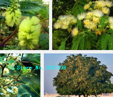 100 pieces bonsai albizia flower seeds called mimosa silk tree seeds for flower potted plants - Silk Trees