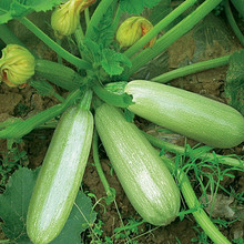 10pcs Rare Seed Zucchini Seed Organic Health Vegetable Seeds High Yield Potted Homes