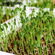 Hemp Seeds Sprout Peas Hydroponic Vegetables White Asparagus Peas Pea Seed Family Balcony Greenery 10pcs