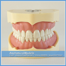 ED-DH105 BF Type Study Model, Medical Science Educational Dental Teaching Models