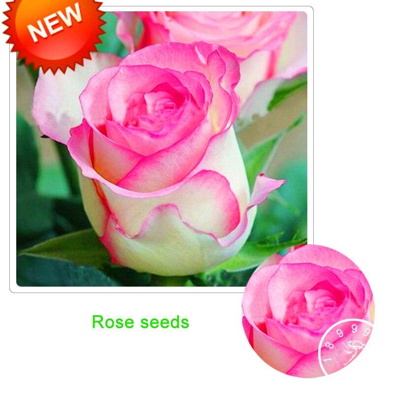 Big Promotion White Heart Pink Side Rose Bonsai 50 Pcs Bag