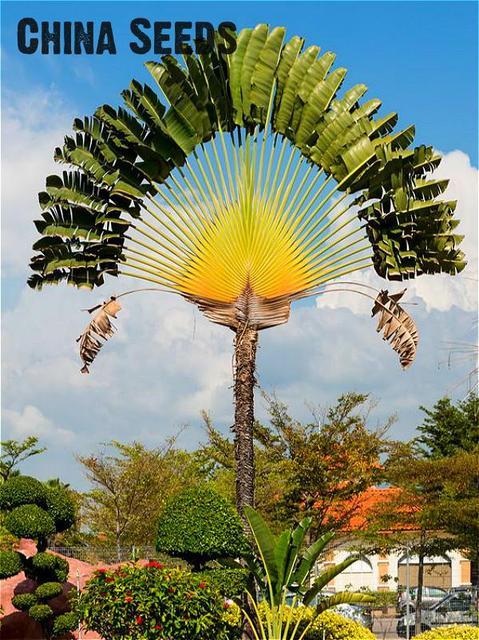 Vendita calda 10 pz/borsa Palma bonsai Impianto Fai Da Te Per La Casa Decorazion