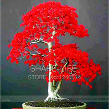 Potted Plant seeds 100% True Japanese Red Maple Bonsai Tree Seeds, 20 Seeds / Pack,  Very Beautiful Indoor Tree