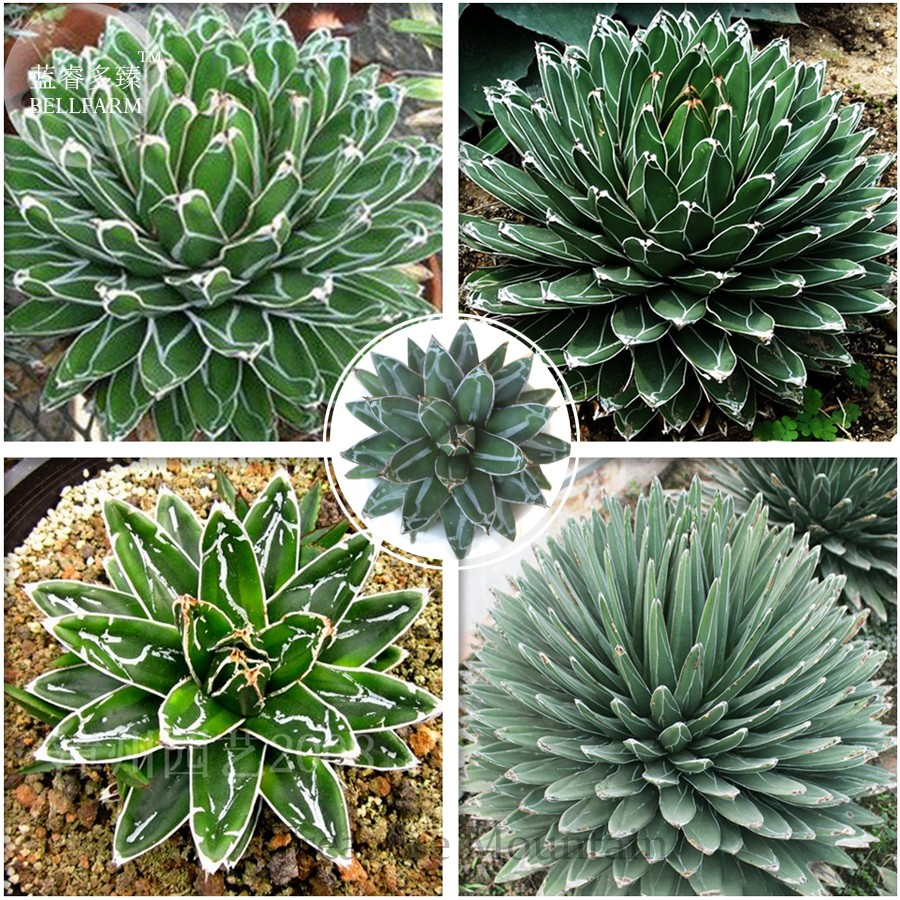 Hilarious Loading Zoom Agave Professional Seeds Agave Victoriae Reginae Sale Agave Victoriae Reginae Super Wide houzz-03 Agave Victoriae Reginae