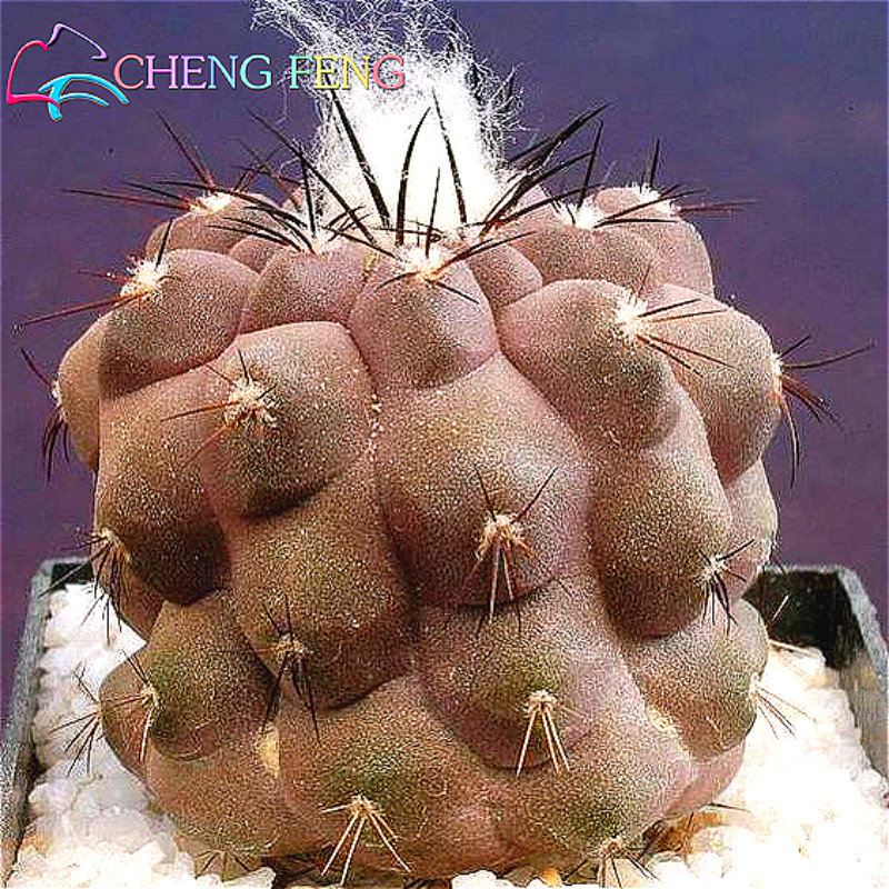 Compra cactus color online al por mayor de china for Cactus enanos por mayor