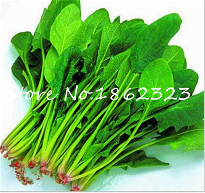 500pcs Water Spinach Vegetable Bonsai Kangkong,Chinese Spinach Or Watercress Time Limit Promotion Spinach Bonsai Organic Green