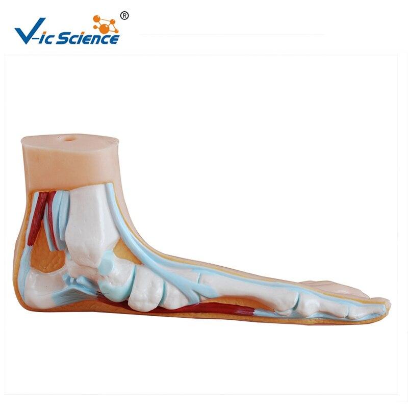 Modèle d'anatomie du pied plat d'étude d'hôpital