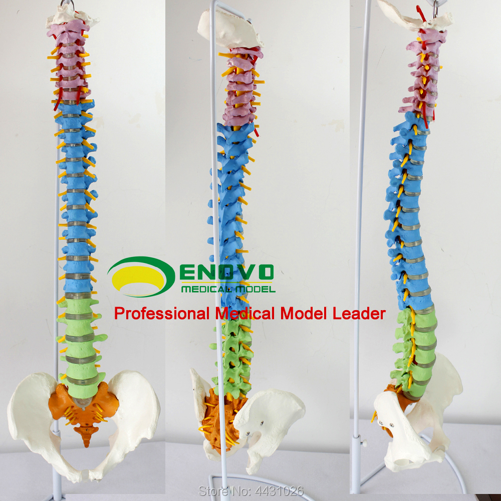 ENOVO The spine model of spine model is practiced in the medical human body teaching spine model