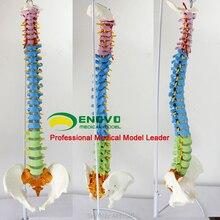 ENOVO позвоночника модель практикуется в медицинской человеческого тела преподавания позвоночника модель