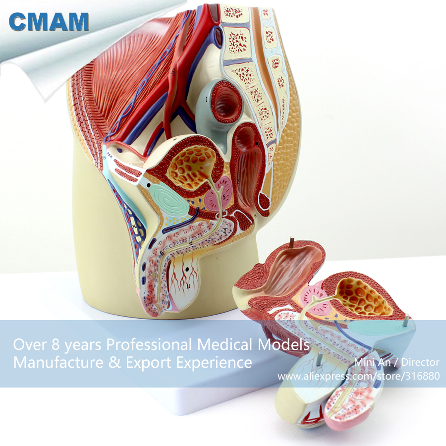 12439 CMAM-ANATOMY01 Life Size Male Pelvis Median Sagittal Section Model, Medical Science Educational Teaching Anatomical Models iso median section of head model anatomical head model