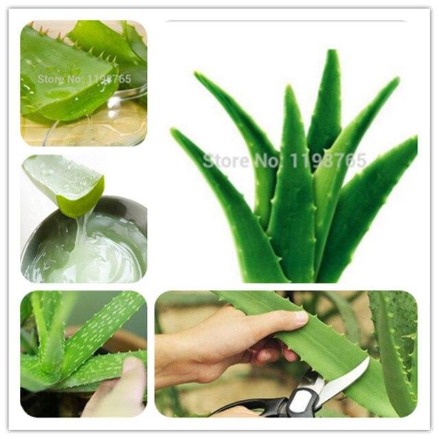 ¡Venta! 50 piezas verde Aloe Vera plantas belleza comestible de verduras y fruta Bonsai hierba árbol plantas para casa y jardín