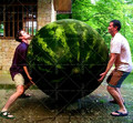 30PCS Giant Watermelon Sweet Taste Vegetables And Fruit Planting Watermelon NON-GMO Edible Fruits