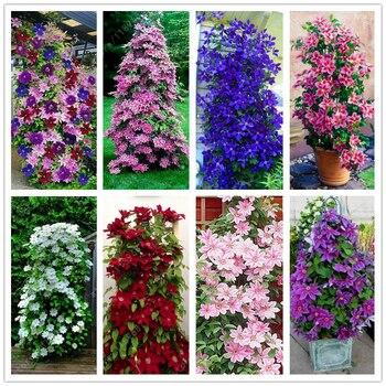 100pcs/bag Clematis seeds flowers clematis vine seeds perennial flower seeds climbing clematis plants bonsai pot garden plant