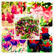 Big sale!100pcs Fuchsia Hybrida Hort plant, lantern flowers, potted indoor bonsai home garden free shipping mixed color(China)