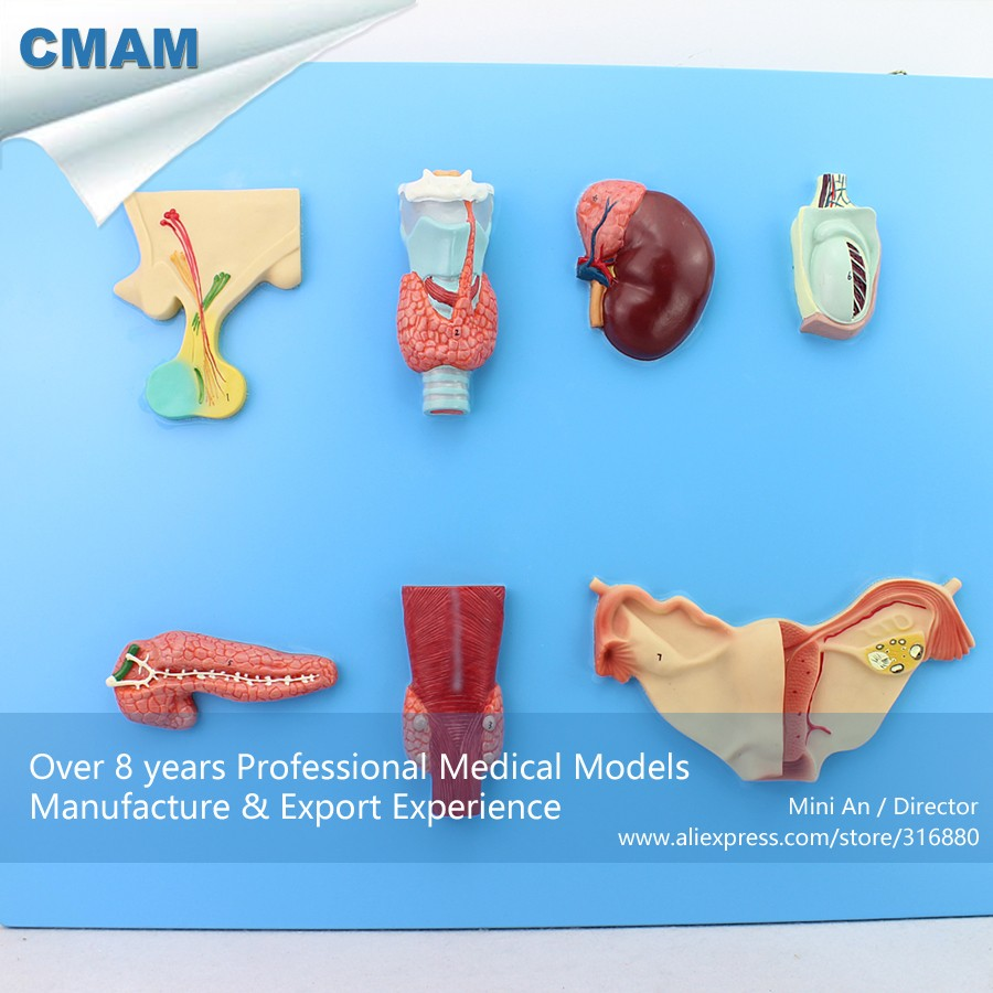 12551 CMAM-VISCERA14 Endocrine Gland And Endocrine Tissue Anatomy Model, Medical Science Educational Teaching Anatomical Models cmam a29 clinical anatomy model of cat medical science educational teaching anatomical models
