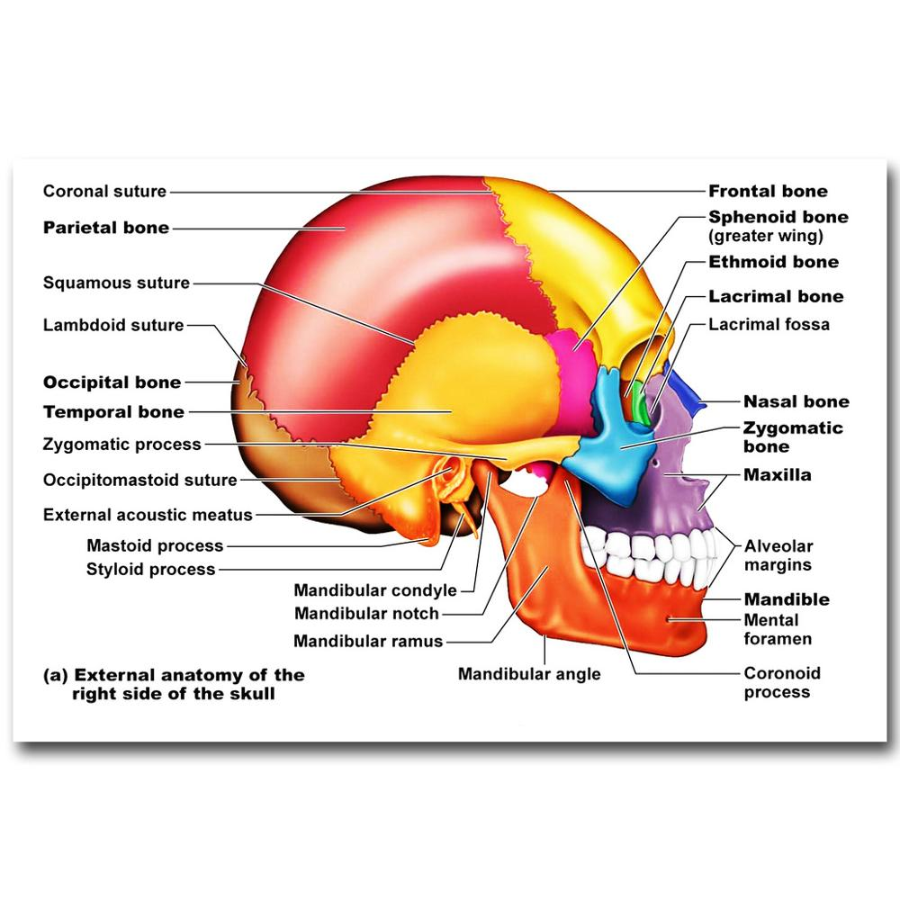 Exernal Anatomy of the Right Side of the Skull Art Silk Cloth Poster ...