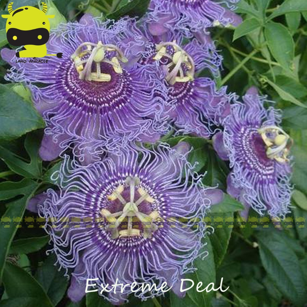 14 Types Passion Flower Mixed Seeds 20 Seedspack Colorful