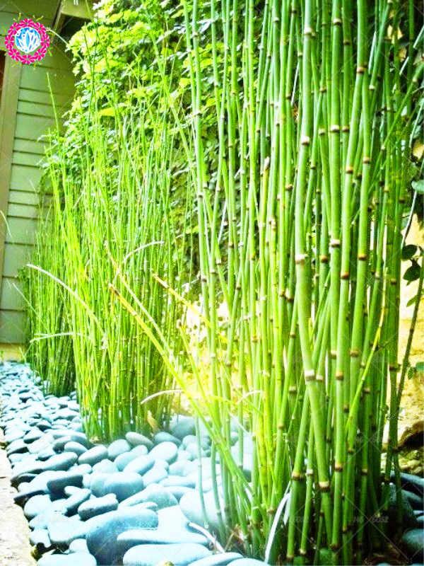 40pcs Bag Bonsai Bamboo Plants Phyllostachys Heterocycla Perennial Bambus Potted Home Garden Decoration Planting