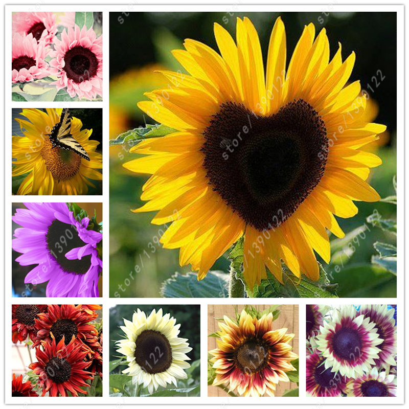 40 Pcs Bag Sunflower Seeds Sunflower Seeds For Planting Bonsai Flower Seeds 10 Colours Natural
