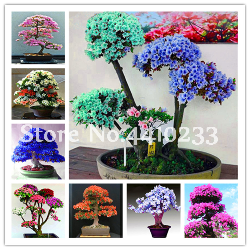 Us 0 74 120 Pcs Bag Anese Azalea Bonsai 24 Kinds Rhododendron Outdoor Flower Tree Diy Plant Home Garden Easy To Grow In