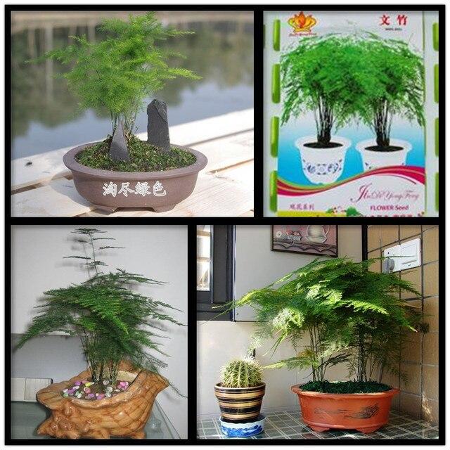 2 bolsas 12 semillas bonsai rare setaceus esp rragos semillas de rboles para el hogar y - Semillas de interior ...