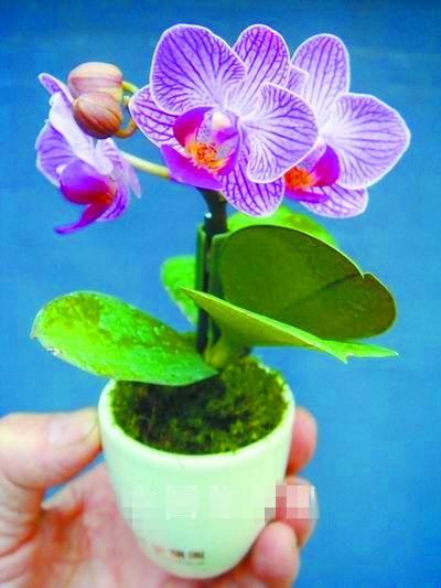 2017 új termék, 100db / zsák Mini Orchid Bonsai Home Miniatűr virágos kert Négy évszak szépség ritka virágok ajándék