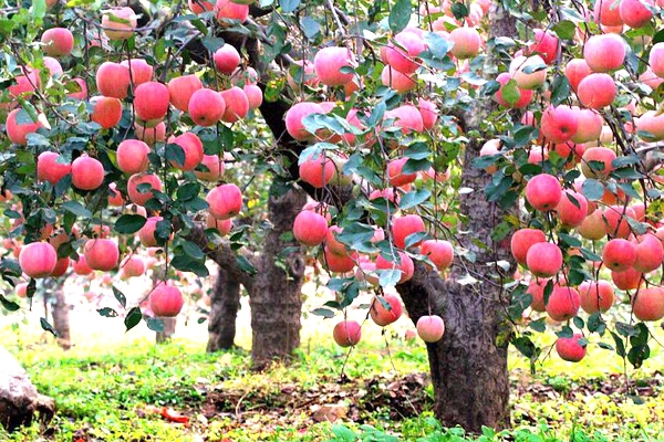 20 Pcs Bonsai Apple Tree Seeds Rare Fruit Bonsai Tree America Red Delicious  Apple Seeds Garden For Flower Pot Planters In Bonsai From Home U0026 Garden On  ...