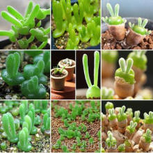 Small Rabbit Monilaria Obconica Seeds 10pcs