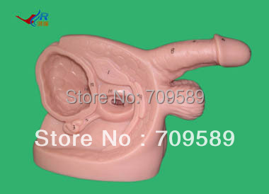male urethral catheterization simulator,Reproductive model male genital organs male genitalia anatomical model structure male reproductive organs decomposition model