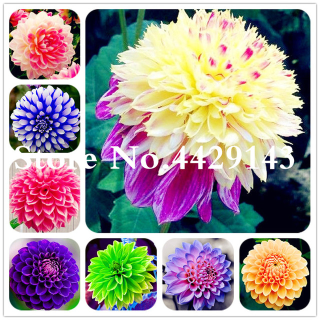 Rare Mixed Colors Dahlia Flower Beautiful Perennial Flower Bonsai