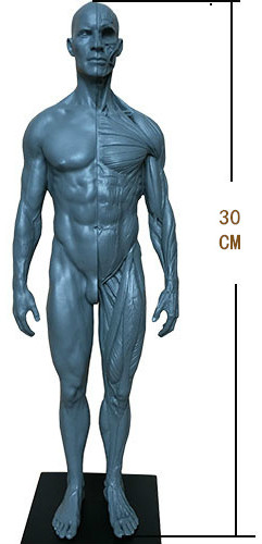 30cm height Man woman Human acupuncture Anatomical Anatomy Skull blood Sculpture Head body model Muscle Bone Artist pig acupuncture model animal acupuncture model