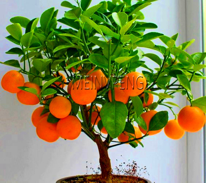 New Arrival!4 Kind Fruit,bonsai Fruit Tree Bonsai,vegetable And Fruit Garden Plant Delicious Apple Orange Kiwi Cherry Total