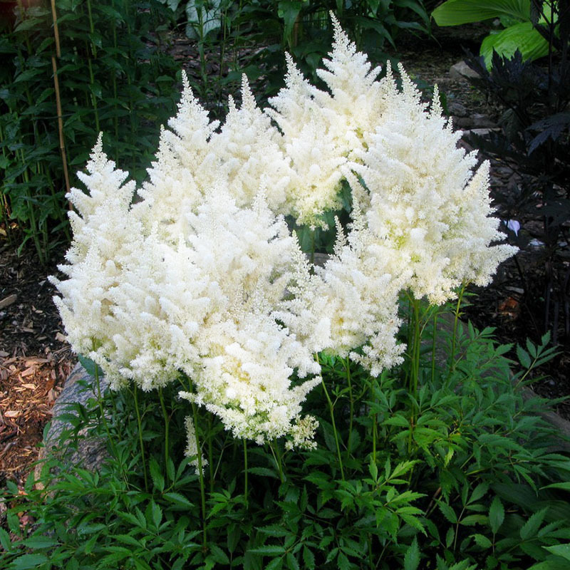 Hot Sale Rare White Chinese Astilbe Seeds Balcony Garden Patio Potted Bonsai Plants Astilbe Chinensis Flower Seeds 120PCS ...