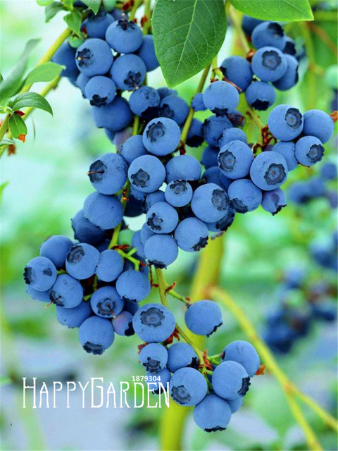 big promotion!100 pcs/pack blueberry tree seed fruit blueberry seed