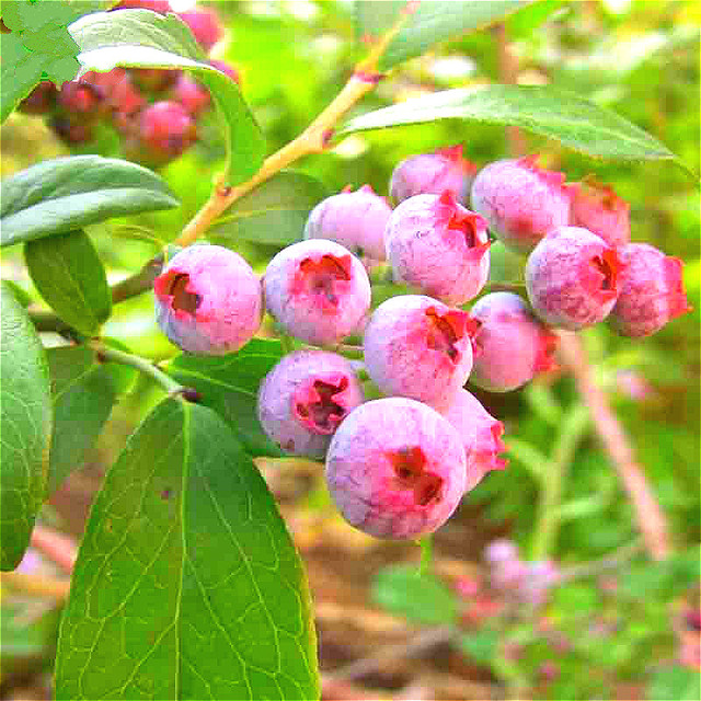100 pcs blueberry seeds blue red bonsai blueberry tree fruit