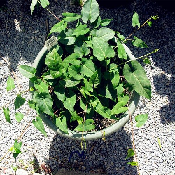 US $0 4 54% OFF|Fallopia Multiflora Bonsai, He Shou Wu, approx 10 Bonsai /  pack, Chinese Herbs Polygonum Multiflorum Excellent He Shou Wu Bonsai-in