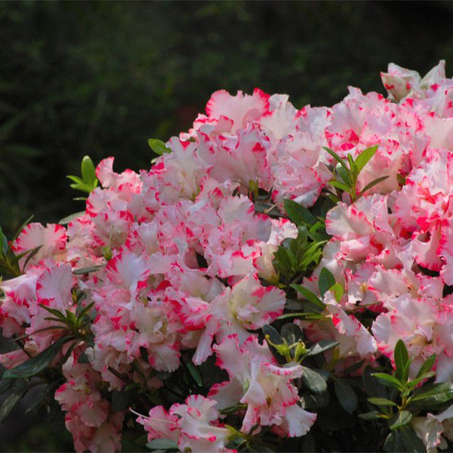 White and red azalea rhododendron seeds perennial flowers seeds plum white and red azalea rhododendron seeds perennial flowers seeds plum garden bonsai tree diy home garden mightylinksfo