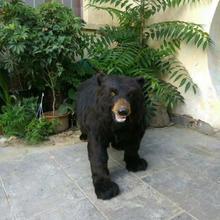 large 110x80cm artificial black bear plastic&furs bear model handicraft prop home garden decoration gift p0938