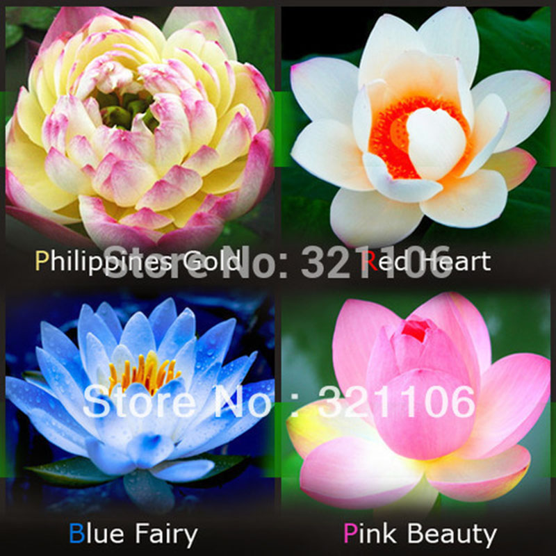 Lotus Seeds Four Color Blue Pink Gold White 4 Pack Each Pack 10